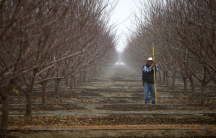 A worker prunes almond trees in an orchard near Bakersfield in the Central Valley, California, United States January 17, 2015.