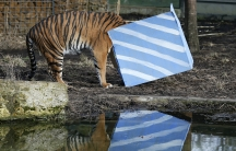 Sumatran tiger Melati looks inside a present box put out to celebrate the first birthday of her cub triplets in their enclosure at the London Zoo on February 4, 2015.