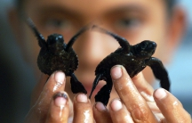 A boy holds two baby sea turtles.