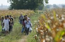 Migrants walking through cornfields near Sid in Serbia, trying to reach Croatia