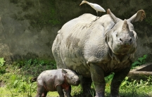 A one-horned rhino named Baghekhaity stands next to its 10-day-old calf at a zoo in Guwahati, in the northeastern Indian state of Assam.