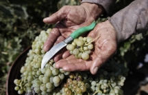 An agricultural worker holds a handful of Greek grapes