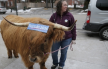 Real political bull. Or actually a steer called Bleu, with a political sticker, in downtown Manchester, New Hampshire, on the eve of the primary.