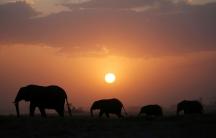 Elephant walk during sunset in Amboseli National Park, Kenya.