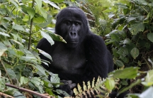 An endangered mountain gorilla rests inside a forest in a Bwindi Impenetrable National Park in Rwanada.