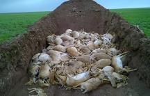 Saiga mass grave