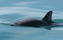 The vaquita marina is a critically endangered porpoise species that lives only in the northern part of the Gulf of California. Scientists believe the population may be down to just 30 animals.