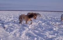 Yakutian horses trampling snow