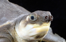 A pig-nosed turtle, which is becoming a favorite as an exotic pet.