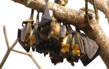 Fruit bats like the ones pictured here are often key vectors for diseases like Ebola, and disturbing their habitats may have made humans more vulnerable.
