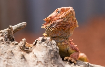A bearded dragon in Hunter Valley Zoo, Australia.