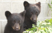 Orphaned bear cubs Jordan and Athena at the North Island Wildlife Recovery Association, Port Hardy, British Columbia.
