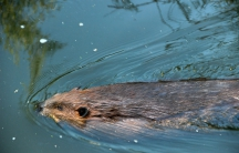 A beaver living in Vancouver's former Olympic Village