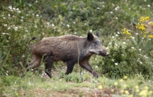 A boar forages in Bainem Forest, Algiers.