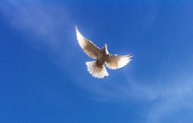 The dove has long been a symbol of peace. This white dove lives at the Blue Mosque in Mazar-i-Sharif in Afghanistan