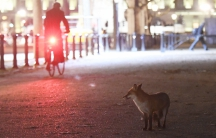 London is home to thousands of urban foxes