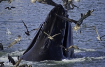 A humpback whale surfacing from the water surrounded by seagulls
