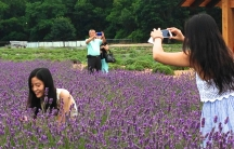 Asian tourists at Lavender by the Bay farm on Long Island