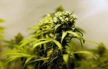 Marijuana plants are seen in an indoor marijuana plantation of a marijuana smokers club in the outskirts of Montevideo, Uruguay, July 16, 2017.