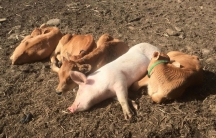 pigs and calves