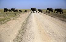 Elephants walk in Amboseli National Park, Kenya, January 26, 2015