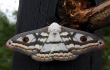 A Marbled emperor moth
