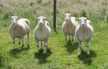 Four clones derived from the same cell line as Dolly. Credit: The University of Nottingham