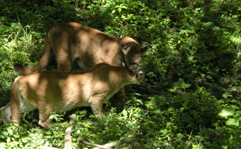 Male mountain lions sometimes travel great distances in search of a mate. (Photo: Bec., Flickr CC BY-NC 2.0)