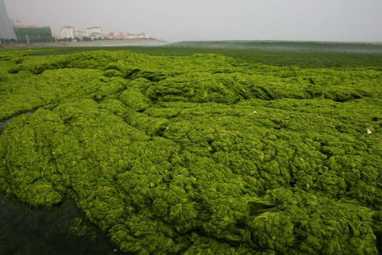 The Blob Attacks: Algae Bloom Blankets China's Yellow Sea