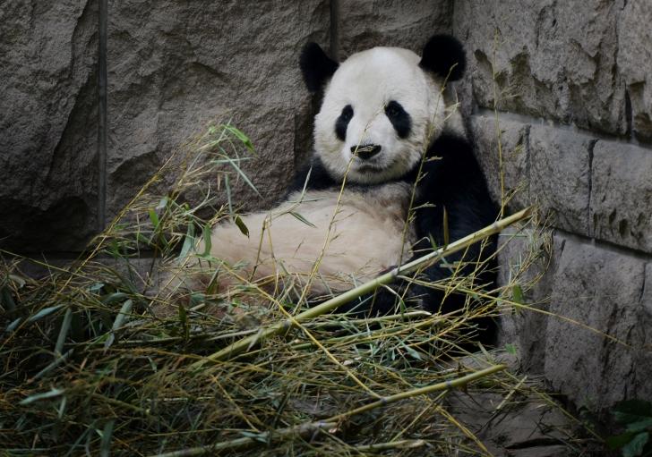 wars panda bear - photo #3