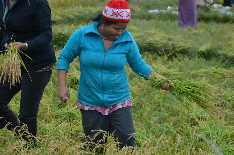 Members of the Bhutanese refugee community in Vermont use long knives and hand sickles to cut the stalks of rice on the quarter-acre paddy.