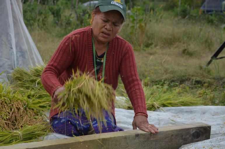 In Bhutan, the rice would be dried for a few days before it would be beaten. But weather in Vermont is too variable, so the rice has to be beaten right after the harvest.