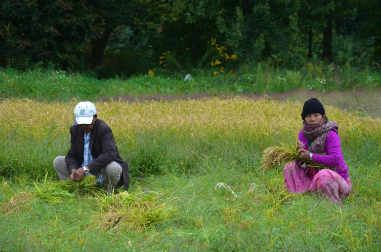 In Vermont, the Bhutanese men and women do an equal share of the harvesting jobs. There is no gender breakdown to the tasks.