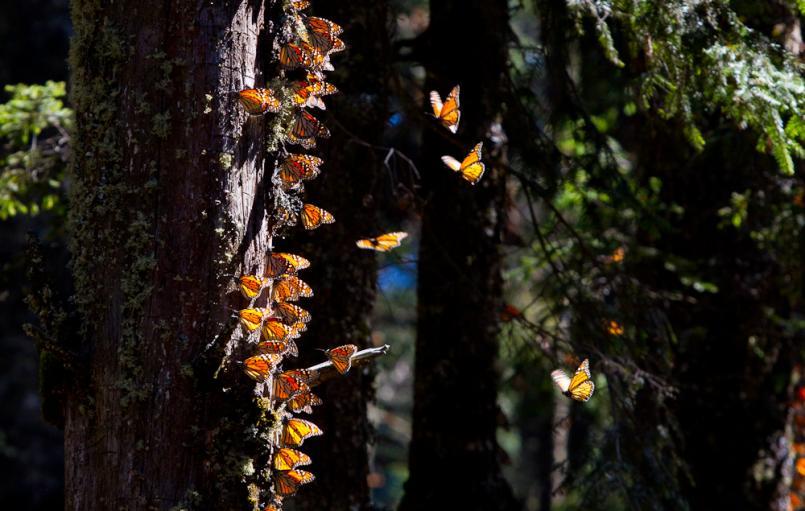 Monarch butterflies (Photo: Dave Sherwood)