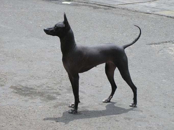 Peru S Hairless Dogs Declared Cultural Patrimony At Home