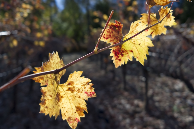 Zinfandel vines in fall colors spread out from Grgich's Napa Valley home.  Grgich funded research that discovered the grapes, once thought to be uniquely American, have origins in Croatia.
