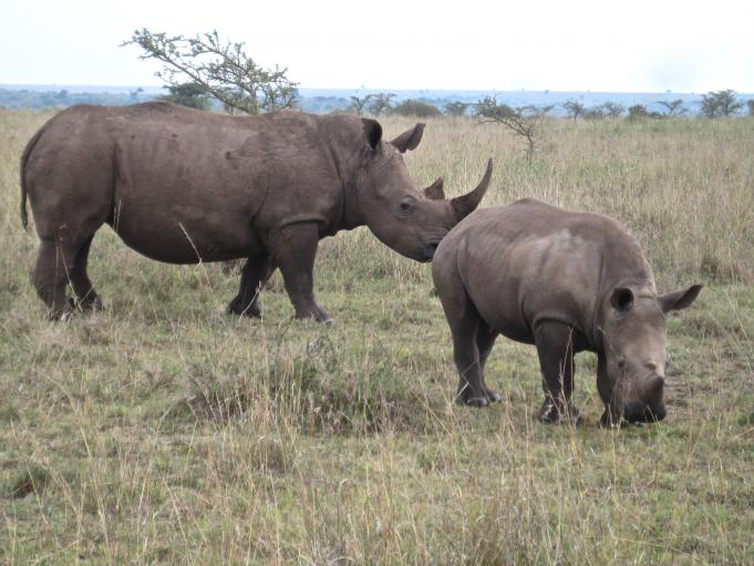 Endangered white rhinos in Nairobi National Park.  Used in some Asian traditional medicine, rhino horn can fetch up to $200,000 on the black market. A rhino was killed in the park in August, the first case of poaching in Nairobi in six years.