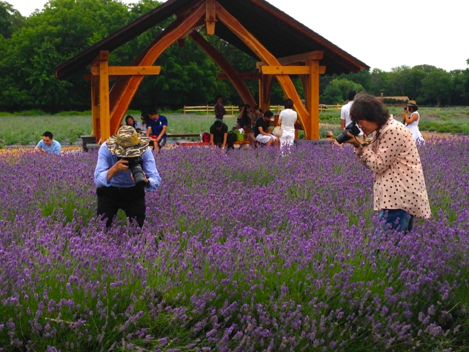 Why This New York Lavender Farm Is A Huge Draw For Asian