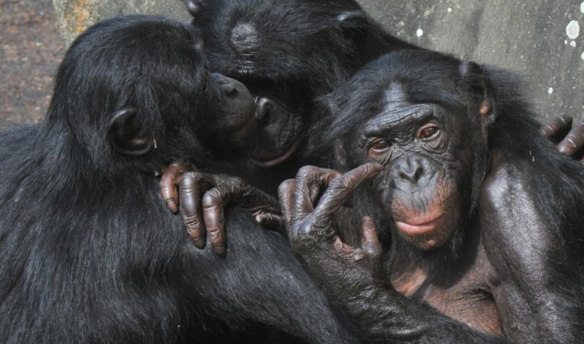 Female bonobos homosexual relationship