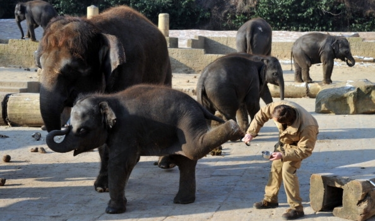 Electro-ejaculation: the business of collecting elephant sperm