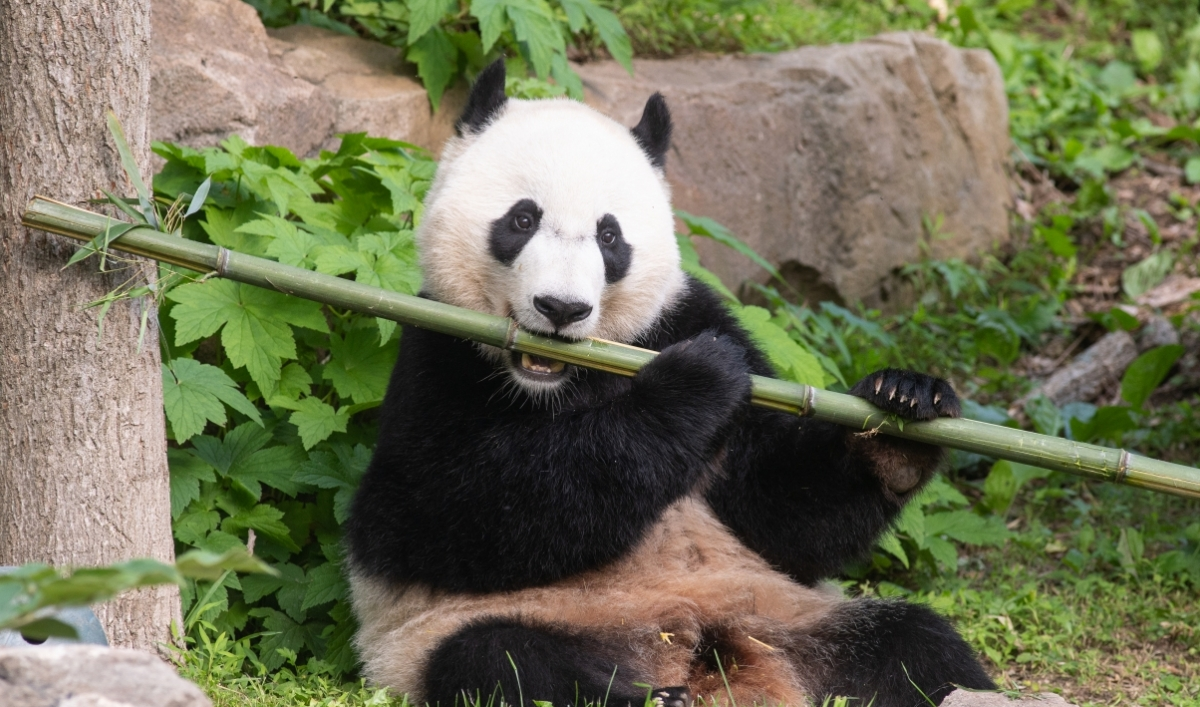 Is diplomacy at play with this panda's return to China?
