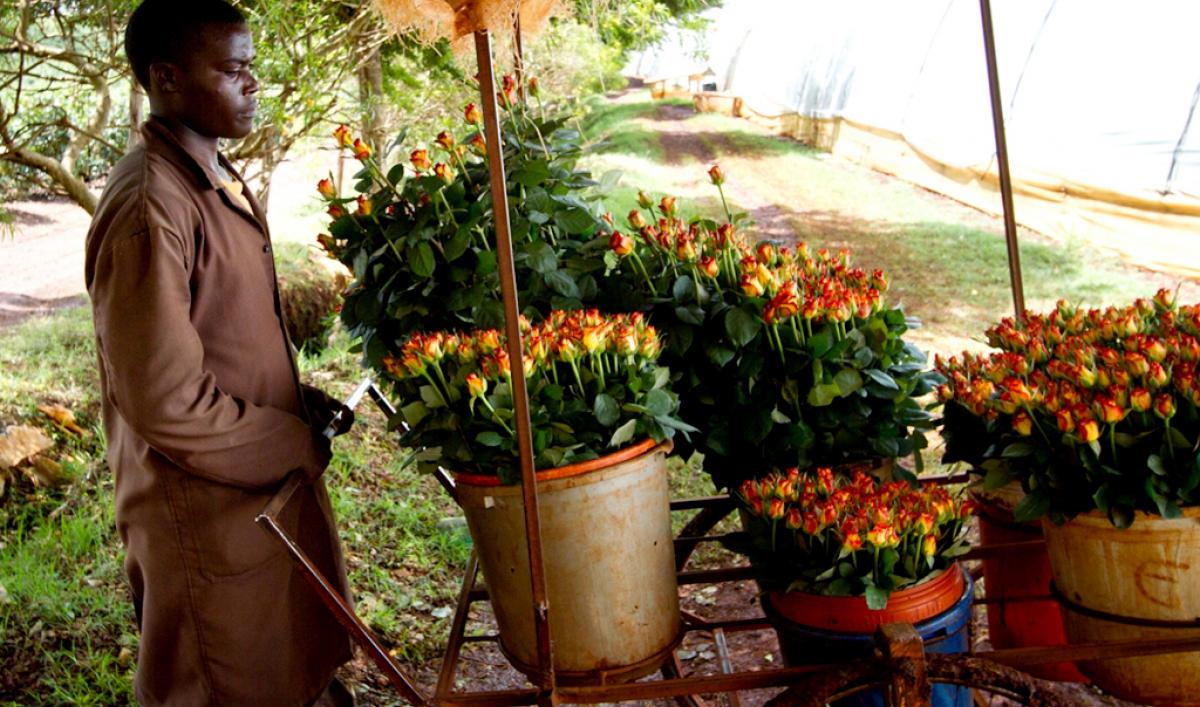 Kenyan rose: features, variety description, benefits 74