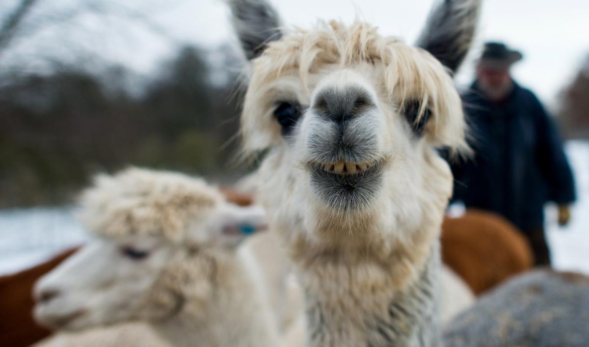 улыбка ламы фото или утюжок для