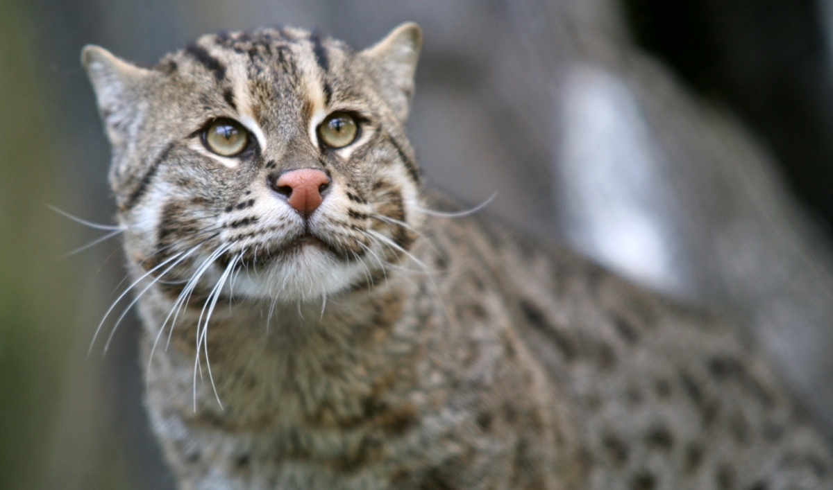 Caught on video: Endangered 'fishing cat' still alive and hunting its watery prey in Cambodia