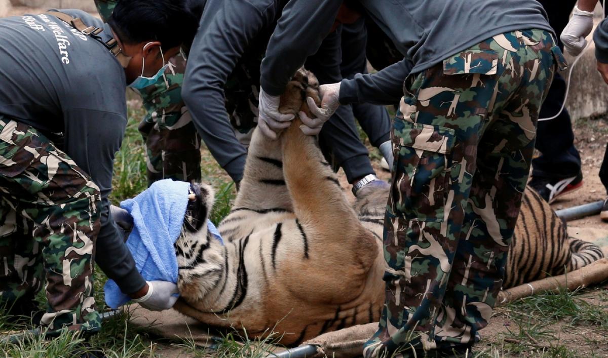 Dozens of dead cubs found at Thai tiger temple | Public Radio