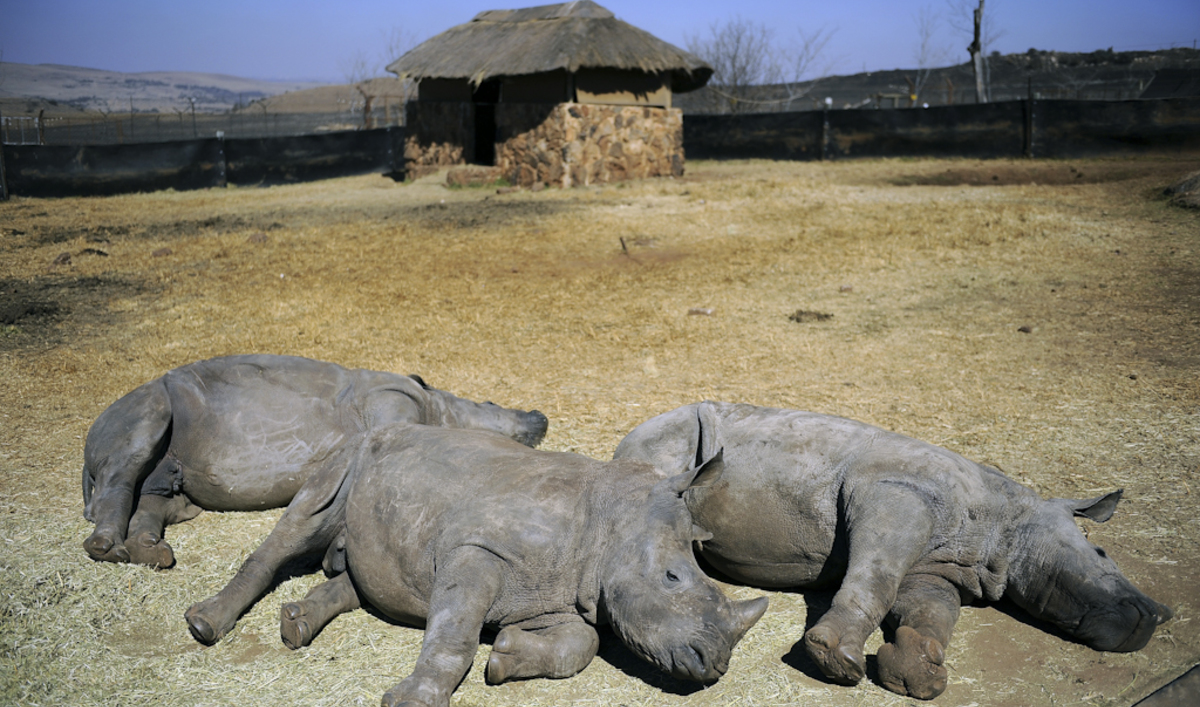 South Africa Anger Over Official Rhino Hunting Auction