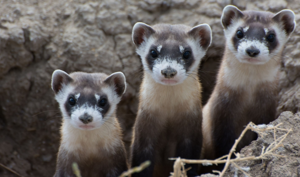 The Black Footed Ferret Is Making A Comeback In The Great Plains