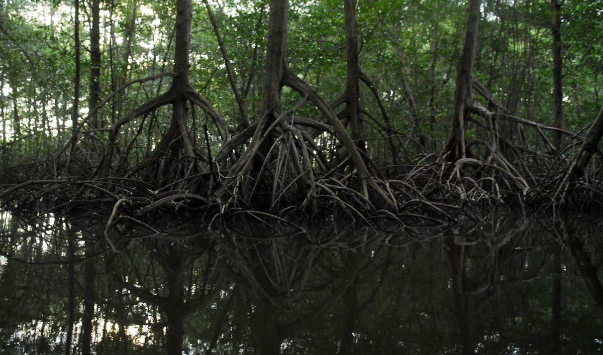 Mangroves After Typhoon Haiyan