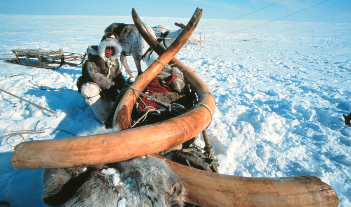 Mammoth tusks are serving as a cover for illegal traffic in