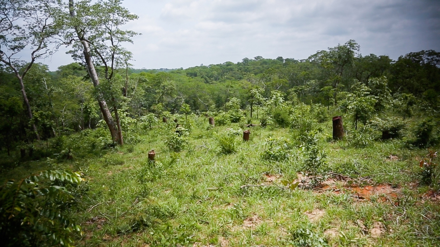 This recently cut village-owned charcoal plot is one of 24 that will be harvested in rotation over 24 years, at which point program organizers hope the forest will be completely regenerated and ready for harvest again. By leaving at least two feet of stum